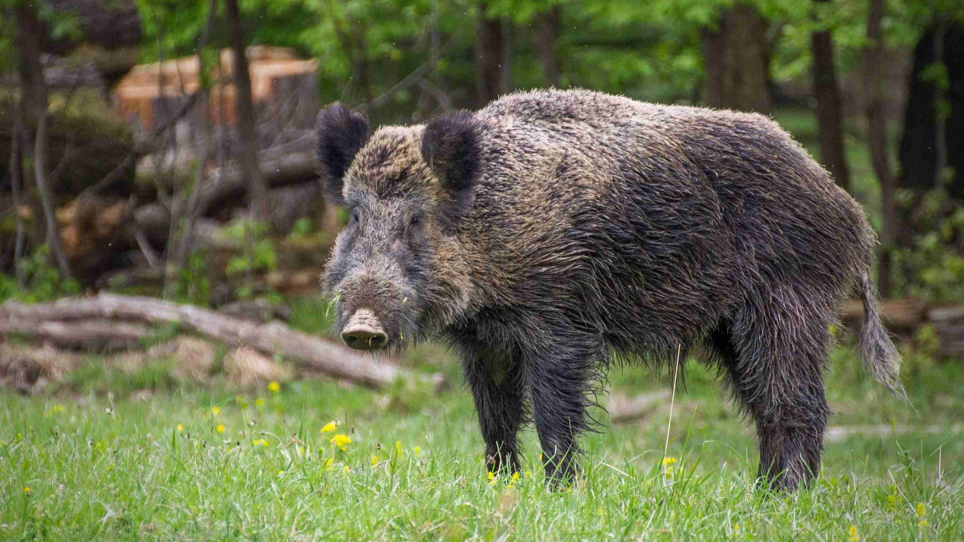 Boar Amazing Facts
