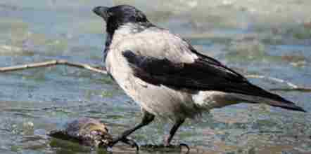 Crow Amazing Facts