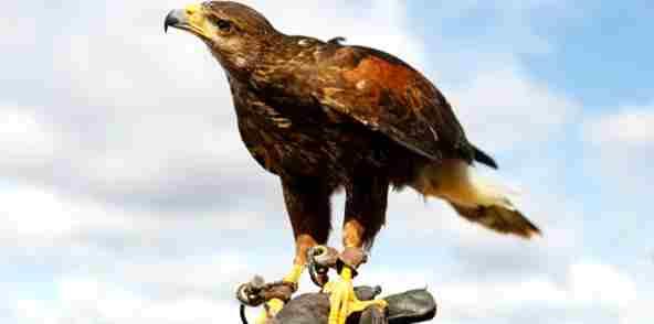 Eagle Amazing Facts