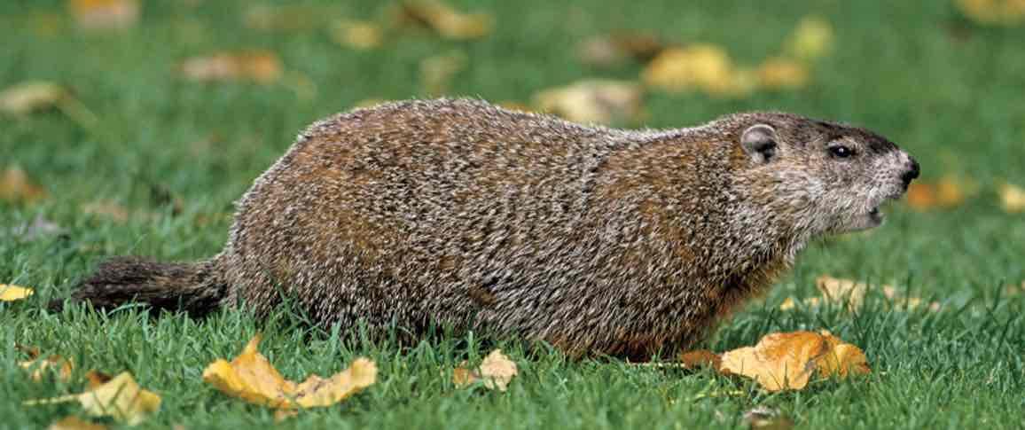 Groundhog Amazing Facts