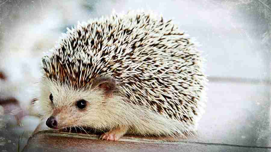 Hedgehog Amazing Facts