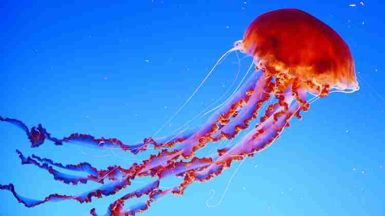 Jellyfish GK facts for kids