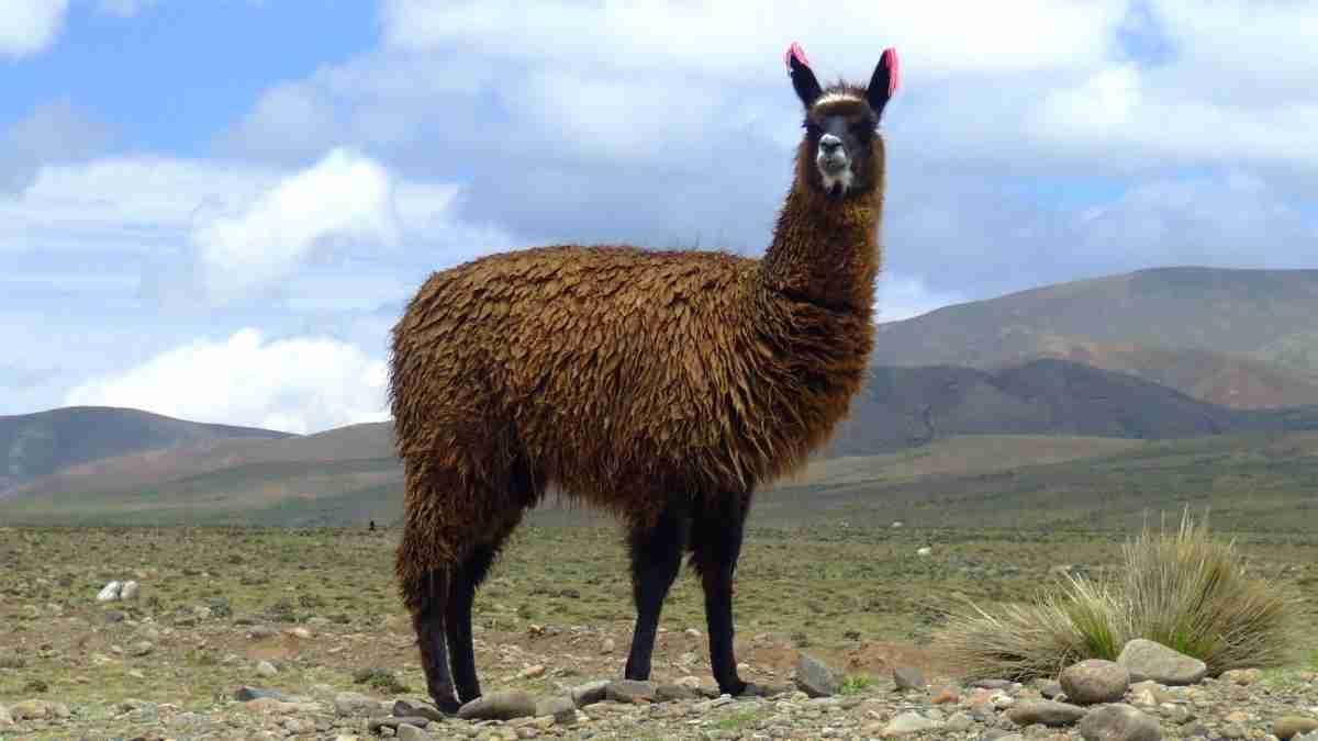 Llama Amazing facts