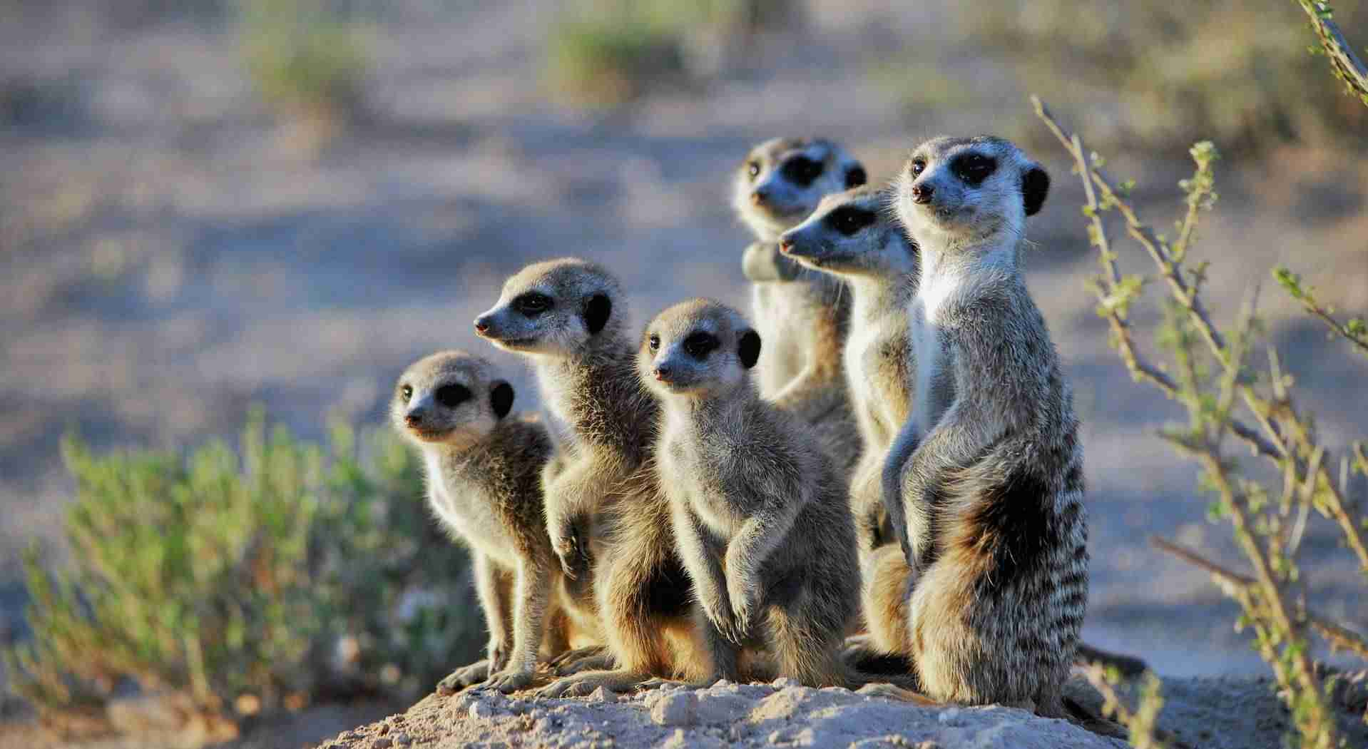 Meerkat Amazing Facts