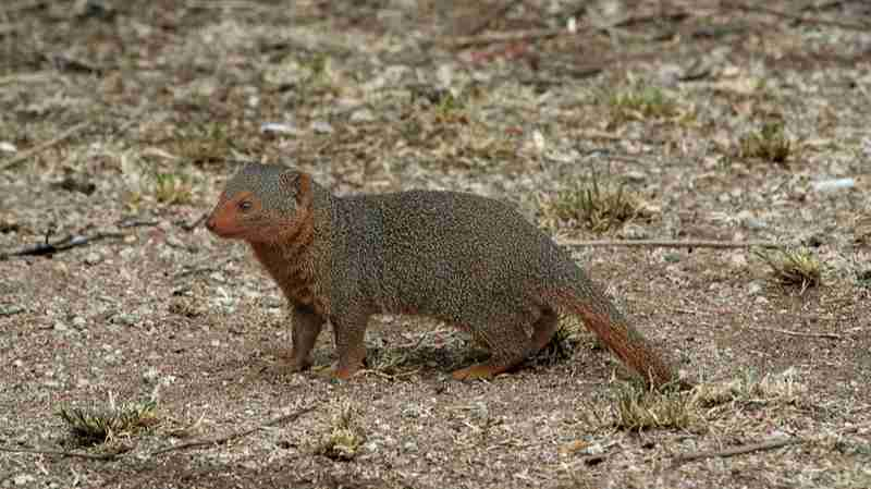Mongoose Amazing Facts