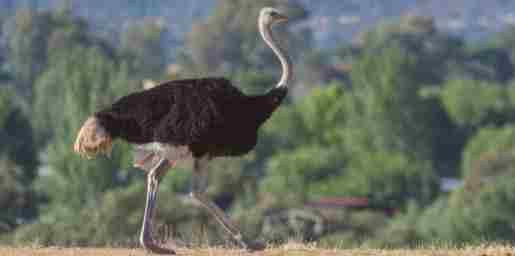Ostrich Amazing Facts