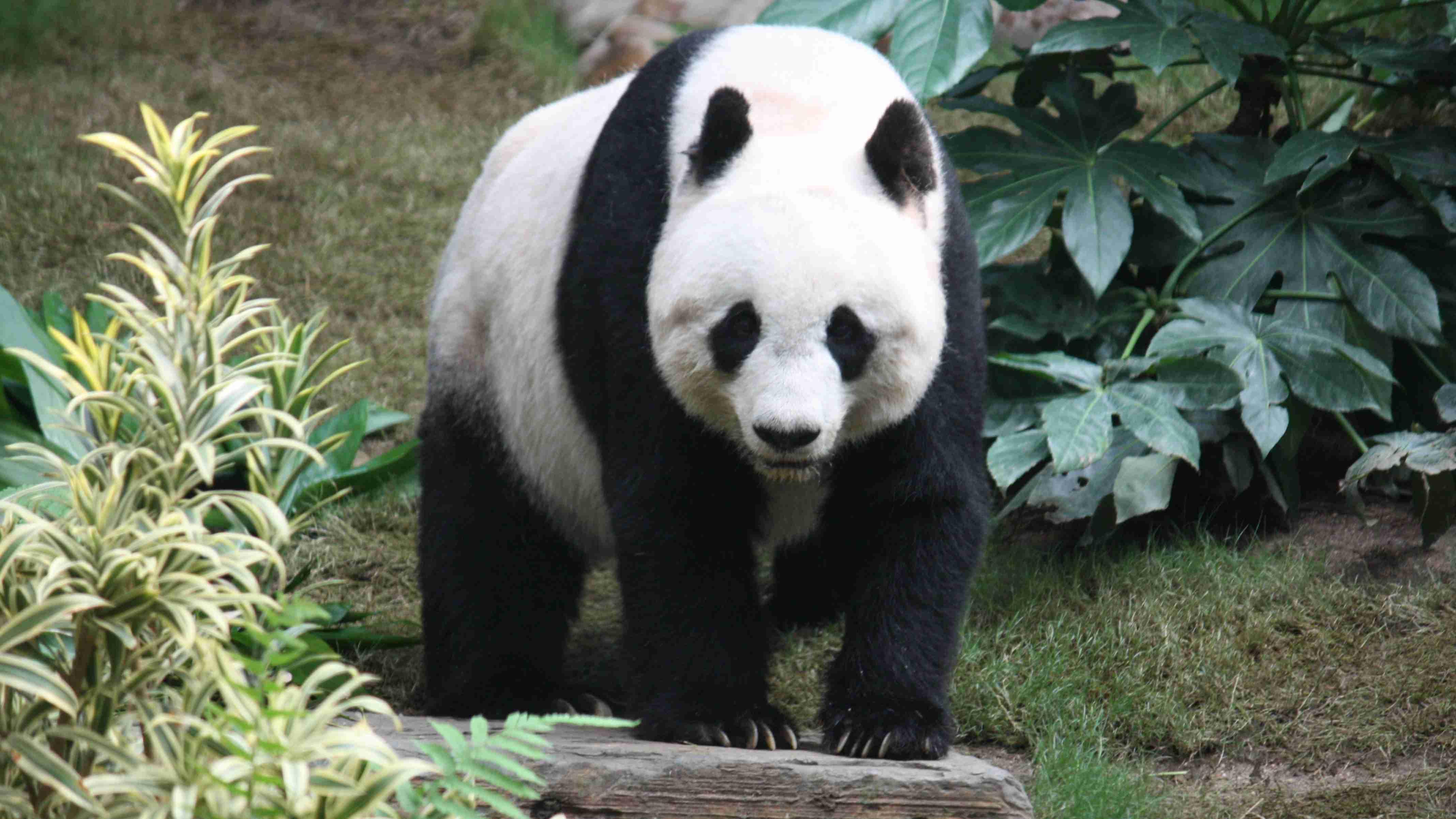 Panda GK Facts for Kids