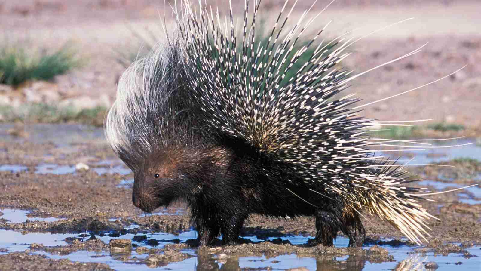 Porcupine Amazing Facts