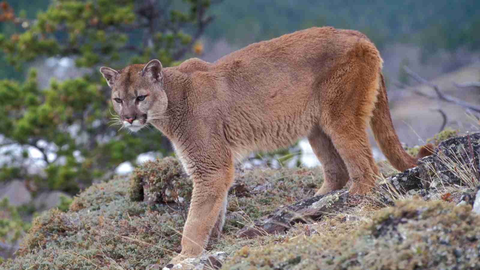 Puma Amazing Facts