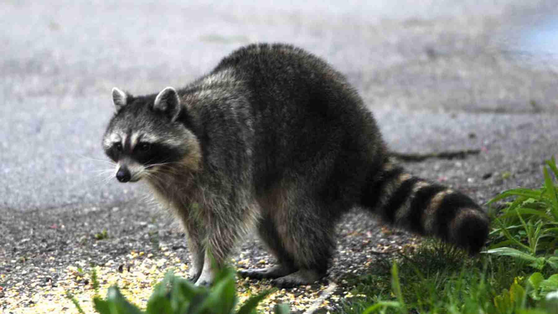Raccoon Amazing Facts