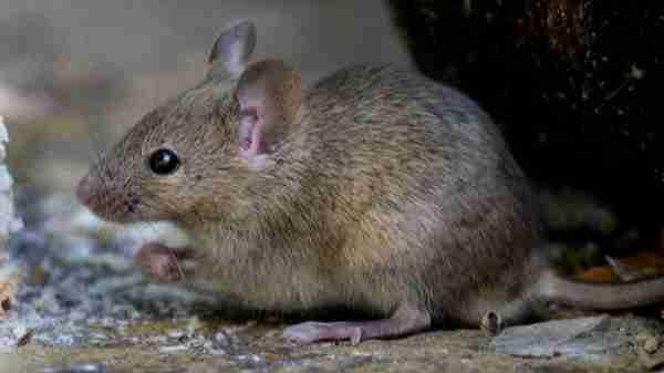 Rat Amazing Facts