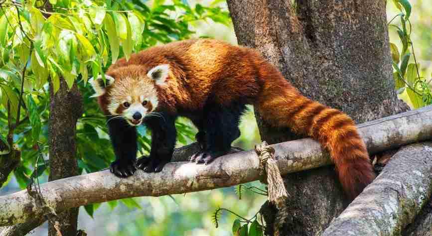 Red panda Amazing Facts