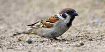 Sparrow Amazing Facts