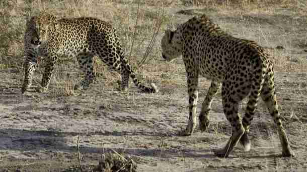 The Leopard and The Cheetah