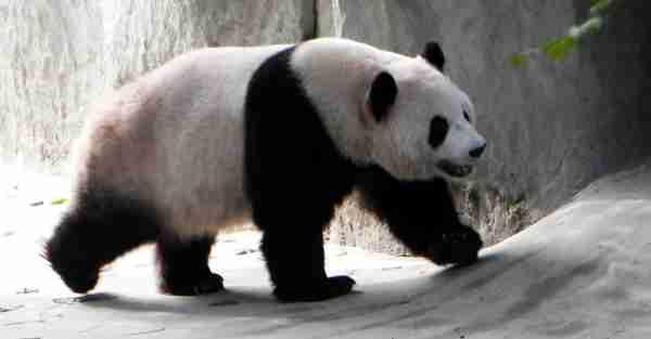 The Panda Who Forgot His Name