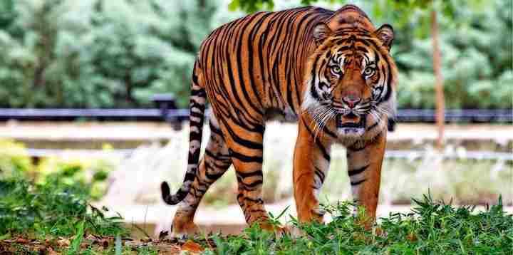 Tiger GK Facts for Kids