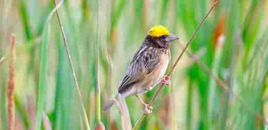 Weaver Bird Amazing Facts