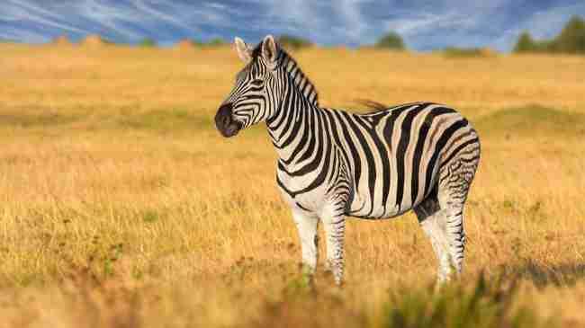 Zebra GK Facts for Kids
