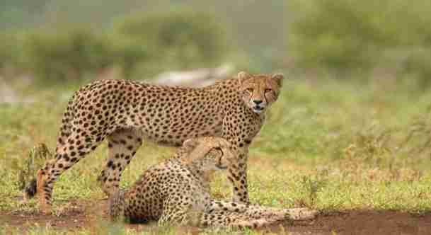 cheetah Amazing Facts