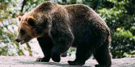 Bear Amazing Facts