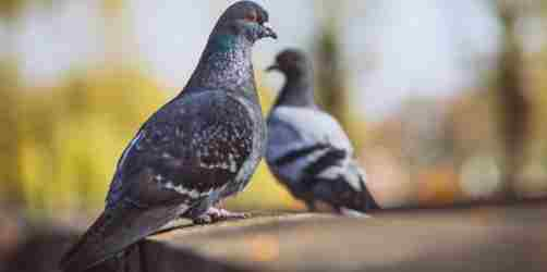 Pigeon Amazing Facts