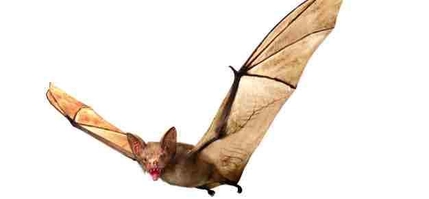 Bat Amazing Facts