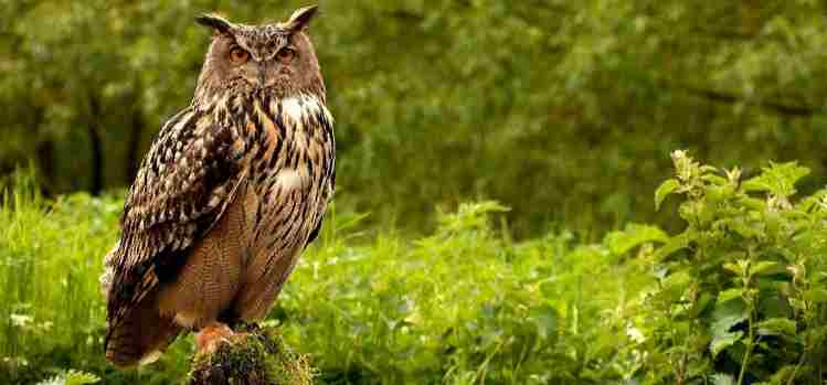 Owl  Amazing Facts