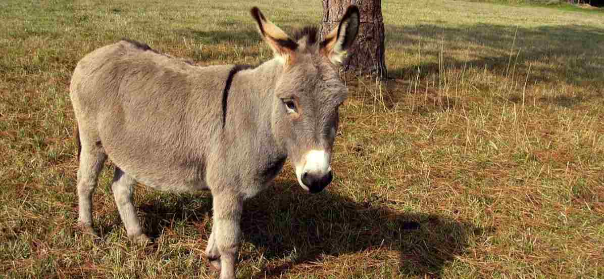 Who is the donkey?