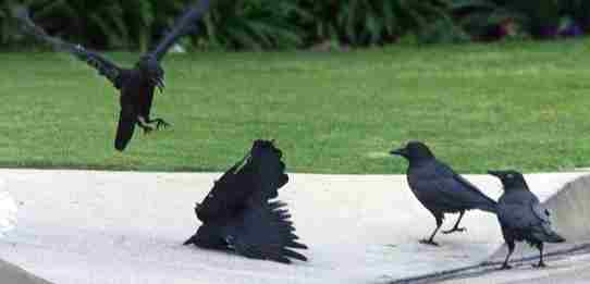 How many crows in the kingdom