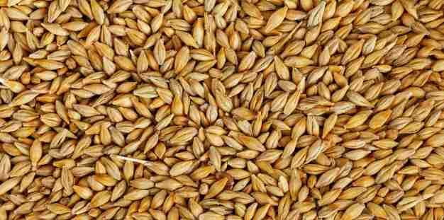 Barley Amazing Facts