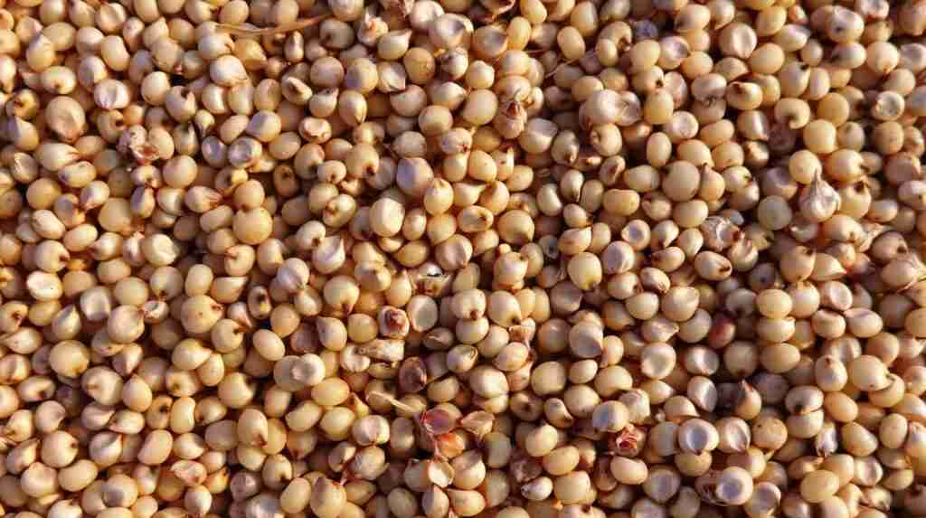 Sorghum Amazing Facts