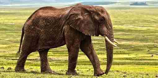 The revenge of the elephant