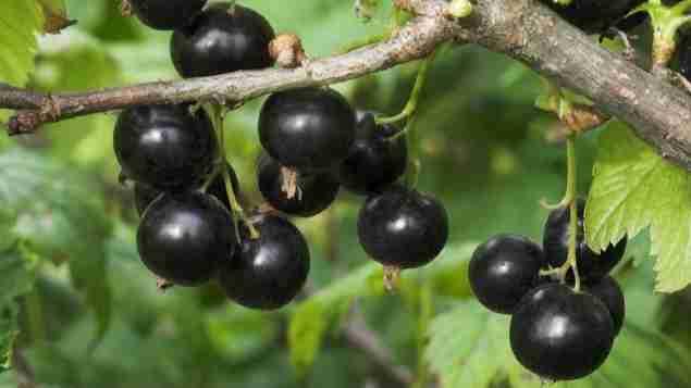 Black currant Amazing Facts
