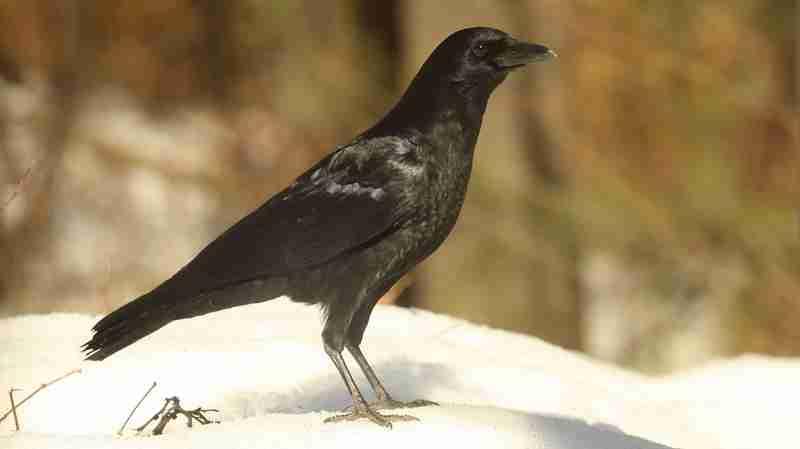 A Pretentious Crow
