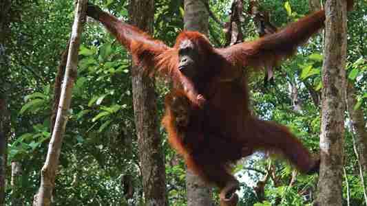 Orangutan Amazing Facts