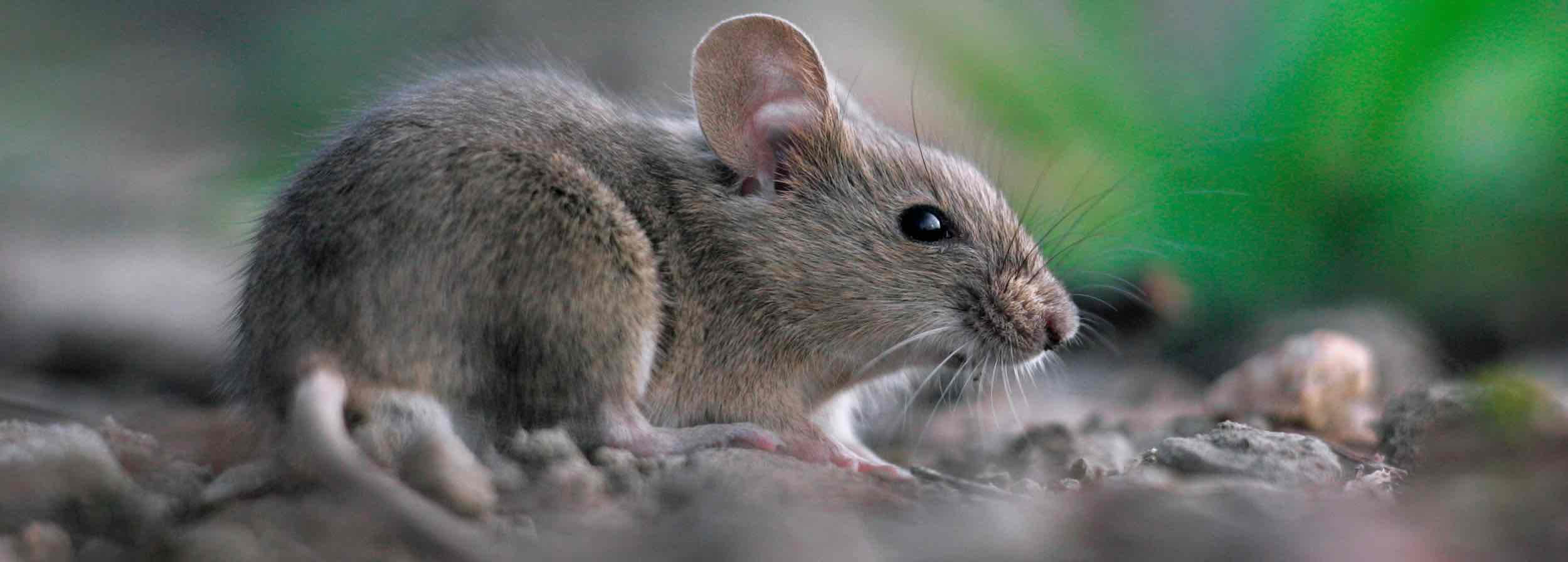 Mouse Amazing Facts