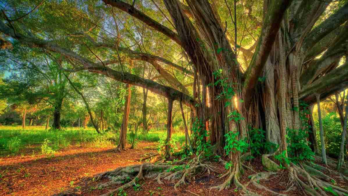 વડ નાં વૃક્ષ નું મોટું થડ