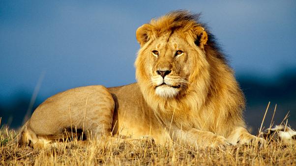 Lion GK Facts for Kids